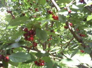 Cherry tree,stonecrest,tasmania, 2011