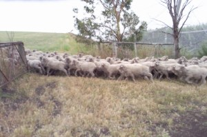 Stonecrest farm sheep